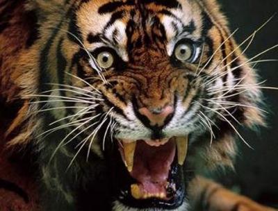tiger (1000).jpg