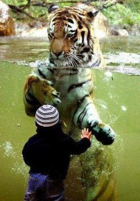 tiger (1003).jpg