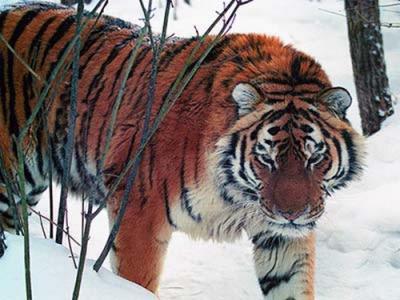 tiger (1004).jpg