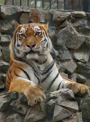 tiger (1005).jpg