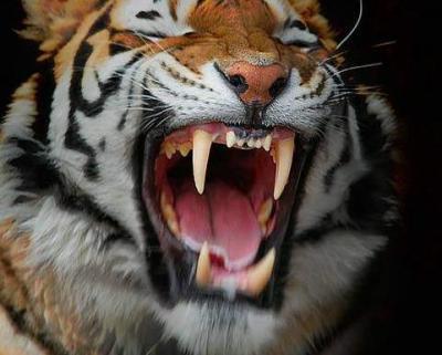tiger (1006).jpg