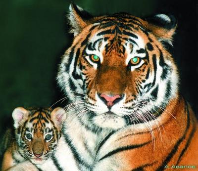 tiger (1011).jpg