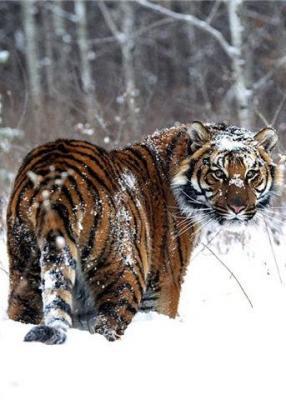 tiger (1012).jpg
