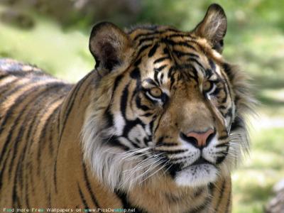 tiger (1013).jpg
