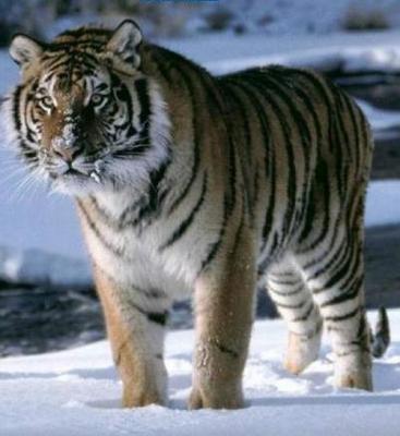 tiger (1014).jpg