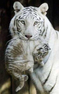tiger (1016).jpg