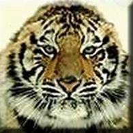 tiger (1022).JPG