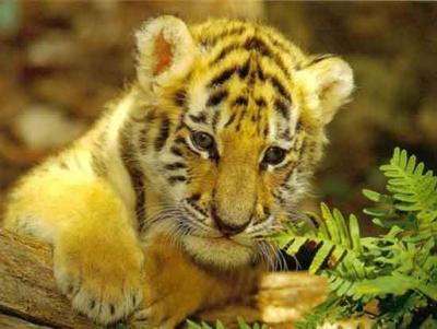 tiger (1025).jpg