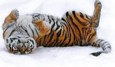 tiger (1039).jpg