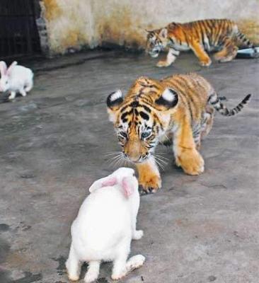 tiger (1032).jpg