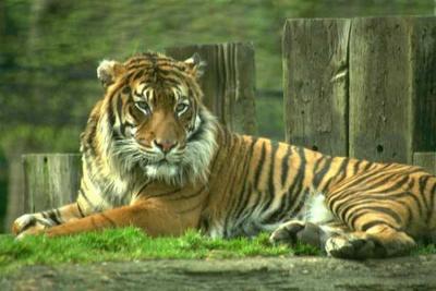 tiger (1033).jpg