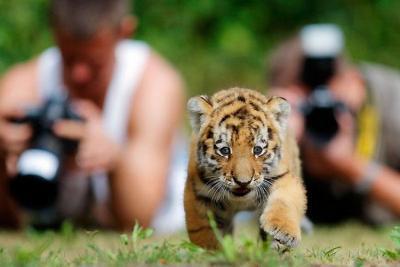 tiger (1036).jpg