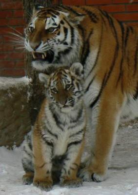 tiger (1037).jpg