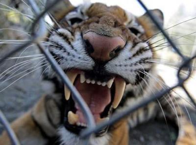 tiger (1038).jpg