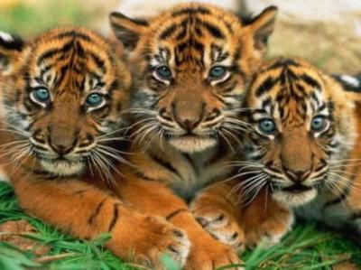 tiger (1049).jpg