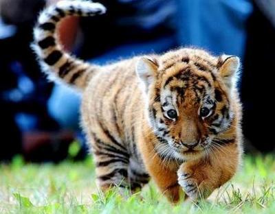 tiger (1041).jpg