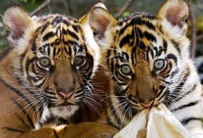 tiger (1043).jpg
