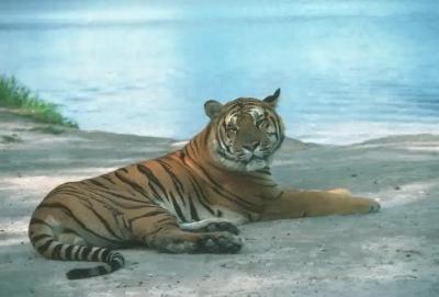 tiger (1045).jpg