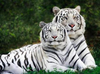 tiger (1046).jpg
