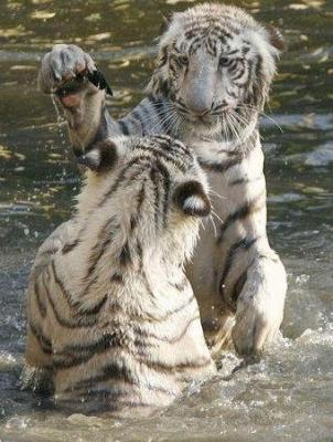 tiger (1047).jpg