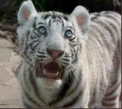 tiger (1059).jpg