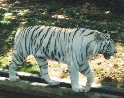 tiger (1053).jpg