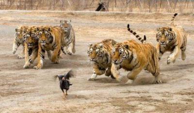 tiger (1054).jpg