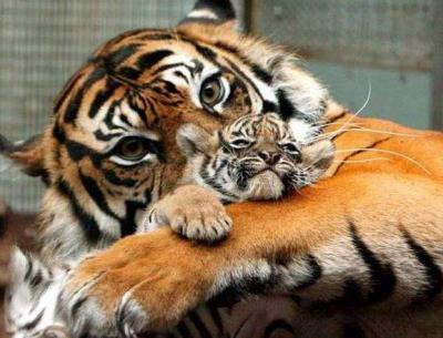 tiger (1055).jpg