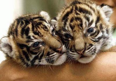 tiger (1056).jpg