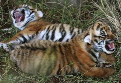 tiger (1058).jpg