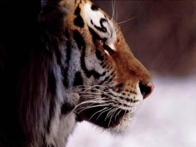 tiger (1069).JPG