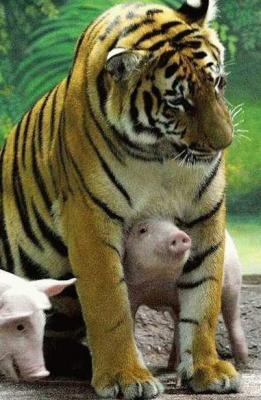 tiger (1060).jpg