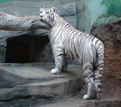 tiger (1062).JPG