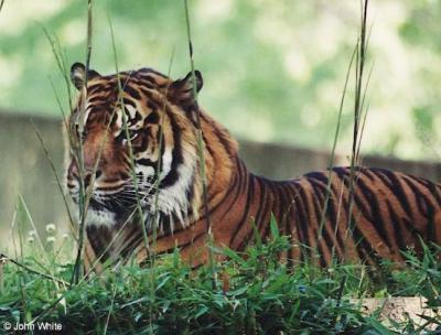 tiger (1063).jpg