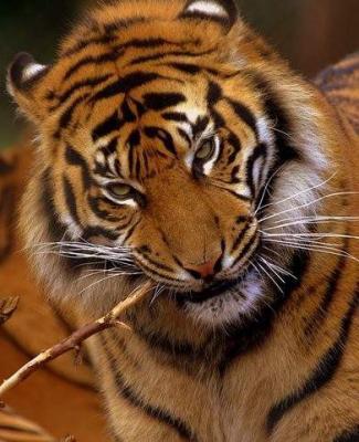 tiger (1064).jpg