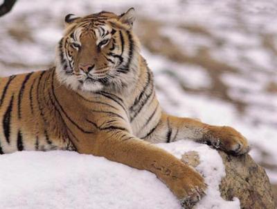 tiger (1066).jpg