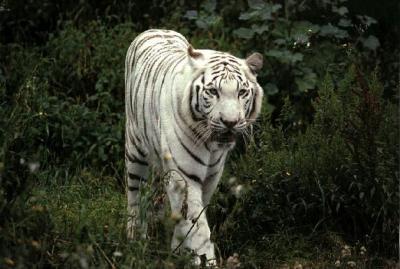 tiger (1067).jpg