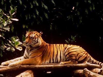 tiger (1068).jpg