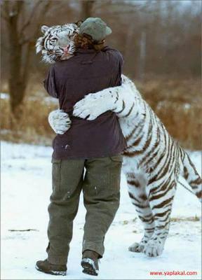 tiger (1082).jpg