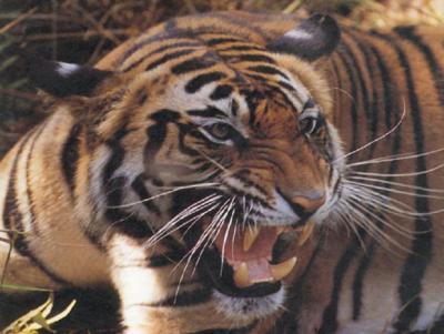tiger (1083).jpg