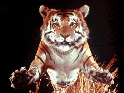 tiger (1084).jpg