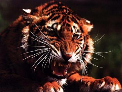 tiger (1085).JPG