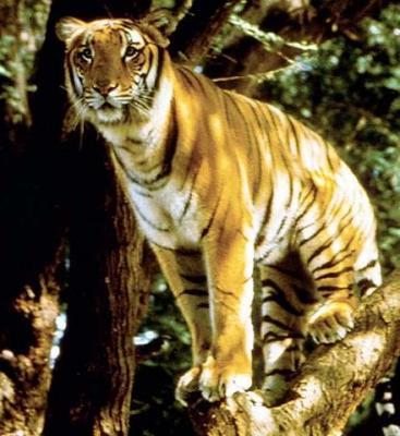 tiger (1086).jpg