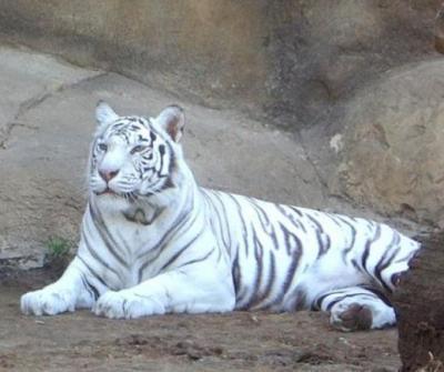 tiger (1088).JPG