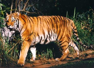 tiger (1091).jpg