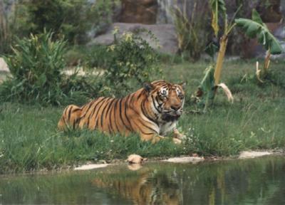 tiger (1092).jpg