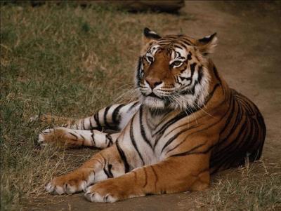 tiger (1094).jpg