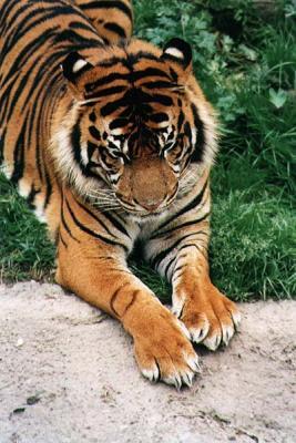 tiger (1095).jpg