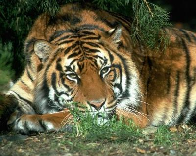 tiger (1096).jpg