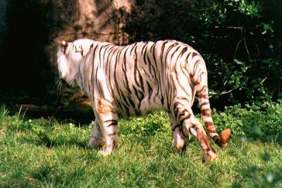 tiger (1097).jpg